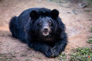 Indian bear at chhatbir zoo